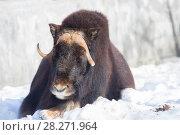 Купить «Овцебык или мускусный бык», фото № 28271964, снято 20 февраля 2015 г. (c) Галина Савина / Фотобанк Лори