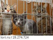 Купить «Three kittens in a cage», фото № 28274724, снято 25 февраля 2018 г. (c) Okssi / Фотобанк Лори
