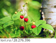 Купить «Strawberries in the forest close-up», фото № 28276396, снято 29 июля 2017 г. (c) Алексей Маринченко / Фотобанк Лори