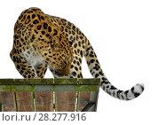 Amur leopard (Panthera pardus orientalis) is standing on wooden platform. Стоковое фото, фотограф Валерия Попова / Фотобанк Лори