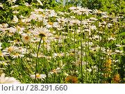 Купить «Ромашки на лугу», эксклюзивное фото № 28291660, снято 13 июня 2011 г. (c) Юрий Морозов / Фотобанк Лори