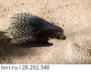 Купить «Дикобраз - животное млекопитающее из отряда грызунов», фото № 28292348, снято 9 апреля 2018 г. (c) Наталья Волкова / Фотобанк Лори