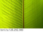 Green natural background, texture - wide surface of a living green banana leaf. Стоковое фото, фотограф Евгений Харитонов / Фотобанк Лори