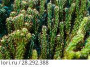 Green vegetative background - dense overgrowth of thorny cactuses. Стоковое фото, фотограф Евгений Харитонов / Фотобанк Лори