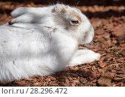 Купить «Заяц - беляк. Polar hare.», фото № 28296472, снято 8 апреля 2018 г. (c) Галина Савина / Фотобанк Лори