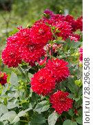 Купить «Красные георгины в саду (лат. Dаhlia)», фото № 28296508, снято 27 августа 2017 г. (c) Ольга Сейфутдинова / Фотобанк Лори