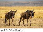 Купить «Two blue wildebeests, Ngorongoro Crater, Tanzania», фото № 28308716, снято 25 мая 2019 г. (c) BE&W Photo / Фотобанк Лори