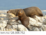 Mother and baby fur seals sleep on rocks in Kaikoura, New Zealand. Стоковое фото, агентство BE&W Photo / Фотобанк Лори
