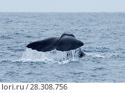 Купить «Sperm Whale Diving near Kaikoura, South Island, New Zealand», фото № 28308756, снято 19 апреля 2019 г. (c) BE&W Photo / Фотобанк Лори