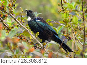 Купить «The tui (Prosthemadera novaeseelandiae) is an endemic passerine bird of New Zealand. It is one of the largest members of the diverse honeyeater family.», фото № 28308812, снято 22 февраля 2020 г. (c) BE&W Photo / Фотобанк Лори