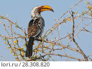 Купить «Southern Yellow-billed Hornbill (Tockus leucomelas) the flying Banana, Etosha National Park, Namibia», фото № 28308820, снято 19 июня 2018 г. (c) BE&W Photo / Фотобанк Лори