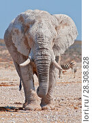 Купить «African elephant from dirty white clay in Etosha National Park, Namibia», фото № 28308828, снято 5 июля 2020 г. (c) BE&W Photo / Фотобанк Лори