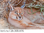 Купить «The caracal (Caracal caracal) is a medium-sized wild cat native to Africa, at the Wildlife Sanctuary in Namibia», фото № 28308876, снято 2 июля 2020 г. (c) BE&W Photo / Фотобанк Лори