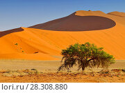 Купить «Sossusvlei landscape with Acacia trees and red sand dunes, Namibia, southern Africa», фото № 28308880, снято 23 июля 2019 г. (c) BE&W Photo / Фотобанк Лори