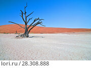 Купить «Dead Camelthorn (Acacia erioloba) Trees in Dead Vlei, Namib Naukluft National Park, Namibia», фото № 28308888, снято 18 января 2019 г. (c) BE&W Photo / Фотобанк Лори