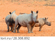 Купить «The white rhinoceros or square-lipped rhinoceros (Ceratotherium simum) Waterberg Plateau Park a national park in central Namibia», фото № 28308892, снято 23 октября 2018 г. (c) BE&W Photo / Фотобанк Лори