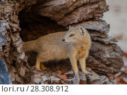 Купить «The yellow mongoose (Cynictis penicillata), sometimes referred to as the red meerkat, is a member of the mongoose family. Lives in open country, from semi-desert scrubland to grasslands in Angola, Botswana, South Africa, Namibia and Zimbabwe.», фото № 28308912, снято 23 января 2019 г. (c) BE&W Photo / Фотобанк Лори