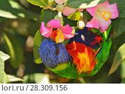 Купить «Rainbow Lorikeet (Trichoglossus moluccanus) eating the nectar from the flower in the Royal Botanic Garden, Sydney, Australia», фото № 28309156, снято 7 декабря 2019 г. (c) BE&W Photo / Фотобанк Лори
