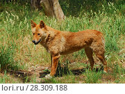 Купить «The dingo (Canis lupus dingo or Canis dingo) is a type of feral dog native to Australia», фото № 28309188, снято 23 марта 2019 г. (c) BE&W Photo / Фотобанк Лори