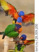 Купить «Australian Rainbow Lorikeets (Trichoglossus moluccanus) drinks from water tap, Outback Australia», фото № 28309200, снято 23 января 2019 г. (c) BE&W Photo / Фотобанк Лори