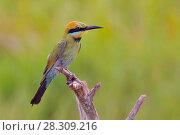 Купить «The rainbow bee-eater (Merops ornatus) Australia, Kakadu National Park», фото № 28309216, снято 7 декабря 2019 г. (c) BE&W Photo / Фотобанк Лори