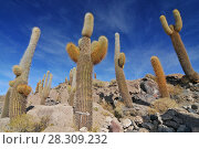 Купить «Giant cactus on the Isla del Pescado (Fish Island) on Salar de Uyuni, Potosi Bolivia», фото № 28309232, снято 28 января 2020 г. (c) BE&W Photo / Фотобанк Лори
