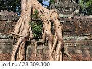 Купить «Jungle tree covering the stones of the temple of Ta Prohm in Angkor Wat, Siem Reap, Cambodia», фото № 28309300, снято 20 октября 2018 г. (c) BE&W Photo / Фотобанк Лори