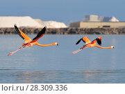 Купить «Flying American flamingos (Phoenicopterus ruber ruber-American Flamingo) in the Rio Lagardos, Mexico», фото № 28309336, снято 11 декабря 2019 г. (c) BE&W Photo / Фотобанк Лори