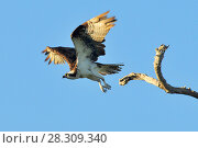 Купить «The osprey (Pandion haliaetus), Rio Lagartos Natural Reserve, Mexico», фото № 28309340, снято 16 февраля 2019 г. (c) BE&W Photo / Фотобанк Лори