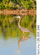 Купить «The great blue heron (Ardea herodias) is a large wading bird in the heron family, Rio Lagartos Natural Reserve, Mexico», фото № 28309344, снято 23 марта 2019 г. (c) BE&W Photo / Фотобанк Лори