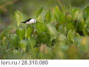 Купить «Black-backed water tyrant (Fluvicola albiventer) foraging amonst water hyacinth. Cuiaba River, northern Pantanal, Mato Grosso, Brazil.», фото № 28310080, снято 27 февраля 2020 г. (c) Nature Picture Library / Фотобанк Лори
