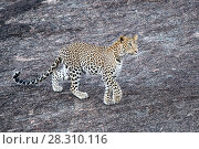 Купить «Leopard (Panthera pardus) stalking prey on a rocky outcrop. Jawai / Bera, Rajasthan, India.», фото № 28310116, снято 23 мая 2019 г. (c) Nature Picture Library / Фотобанк Лори