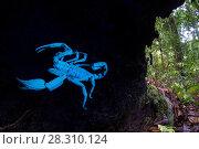 Купить «Borneo giant forest scorpion (Heterometrus longimanus) resting inside a fallen hollow log. Danum Valley, Sabah, Borneo. Photographed with natural light...», фото № 28310124, снято 25 апреля 2018 г. (c) Nature Picture Library / Фотобанк Лори