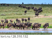 Herd of White-bearded wildebeest (Connochaetes taurinus albojubatus) crossing lake shallows on migration, Ngorongoro Conservation Area / Serengeti National Park, Tanzania, East Africa. Стоковое фото, фотограф Nick Garbutt / Nature Picture Library / Фотобанк Лори