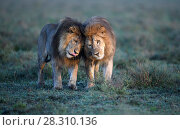 Купить «Lions (Panthera leo) - two brothers patrolling territorial boundary, affectionate behaviour, border of Serengeti / Ngorongoro Conservation Area (NCA) near Ndutu, Tanzania.», фото № 28310136, снято 21 июля 2018 г. (c) Nature Picture Library / Фотобанк Лори