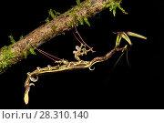 Купить «Spiky flower-mimic stick insect (Toxodera berieri). Active at night. Danum Valley, Sabah, Borneo.», фото № 28310140, снято 22 мая 2019 г. (c) Nature Picture Library / Фотобанк Лори