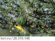 Купить «Vitelline masked weaver (Ploceus velatus) male constructing / buidling its nest by weaving grass. Ndutu, Ngorongoro Conservation Area (NCA), Tanzania.», фото № 28310148, снято 23 мая 2019 г. (c) Nature Picture Library / Фотобанк Лори