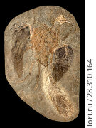 Купить «Confuciusornis sp. fossil. This genus was a primitive crow-sized bird from the Early Cretaceous Yixian and Jiufotang Formations of China, dating from 125 to 120 million years ago», фото № 28310164, снято 26 сентября 2018 г. (c) Nature Picture Library / Фотобанк Лори
