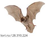 Купить «Egyptian slit-faced bat (Nycteris thebaica) in flight, Gorongosa National Park, Sofala, Mozambique. Controlled conditions», фото № 28310224, снято 27 апреля 2018 г. (c) Nature Picture Library / Фотобанк Лори