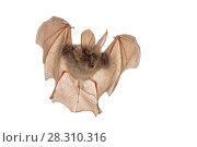 Купить «Egyptian slit-faced bat (Nycteris thebaica) in flight, Gorongosa National Park, Sofala, Mozambique. Controlled conditions», фото № 28310316, снято 27 апреля 2018 г. (c) Nature Picture Library / Фотобанк Лори