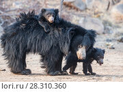 Купить «Sloth bear (Melursus ursinus) and cubs with one riding on her back, Daroiji Bear Sanctuary, Karnataka, India.», фото № 28310360, снято 21 июля 2018 г. (c) Nature Picture Library / Фотобанк Лори