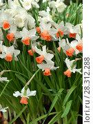 Купить «Narcissus, genus of  spring perennial plants of Amaryllidaceae (amaryllis) fperennial plantsamily», фото № 28312288, снято 28 марта 2018 г. (c) Валерия Попова / Фотобанк Лори