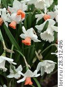 Купить «Narcissus, genus of  spring perennial plants of Amaryllidaceae (amaryllis) fperennial plantsamily. Spring», фото № 28312496, снято 28 марта 2018 г. (c) Валерия Попова / Фотобанк Лори