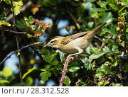 Купить «Sedge warbler (Acrocephalus schoenobaenus) perched in a hawthorn bush. Druridge Bay, Northumberland, England, UK, July.», фото № 28312528, снято 21 мая 2018 г. (c) Nature Picture Library / Фотобанк Лори