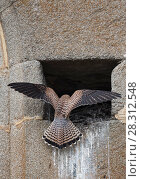Купить «Lesser kestrel (Falco naumanni) female returning to nest site in church wall. Extremadura, Spain.», фото № 28312548, снято 18 июля 2018 г. (c) Nature Picture Library / Фотобанк Лори