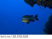 Midnight Snapper (Macolor macularis) swims under coral reef in the blue water. Стоковое фото, фотограф Некрасов Андрей / Фотобанк Лори