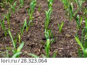 Купить «Грядка озимого чеснока (лат. Alliaceae)», фото № 28323064, снято 26 апреля 2015 г. (c) Ольга Сейфутдинова / Фотобанк Лори
