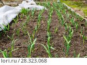 Купить «Грядка озимого чеснока (лат. Alliaceae)», фото № 28323068, снято 26 апреля 2015 г. (c) Ольга Сейфутдинова / Фотобанк Лори