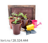 Купить «Seedlings of tomatoes in plastic pots on a white background. Cultivation of tomatoes», фото № 28324444, снято 4 апреля 2020 г. (c) Наталья Осипова / Фотобанк Лори