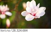 Купить «Beautiful pink magnolia flower», видеоролик № 28324684, снято 22 апреля 2018 г. (c) Peredniankina / Фотобанк Лори